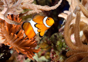 Clownfish In Marine Aquarium