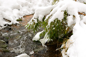 Pine Tree At The Small River Bank In Snowy Winter