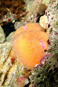 Sea Anemones  In Marine Aquarium
