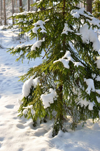 Pine Tree Covered With Snow In Winter Forest
