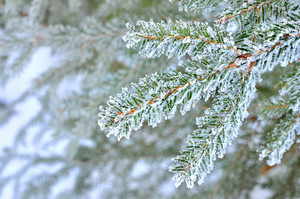 Pine Tree Covered With Frost Close-up