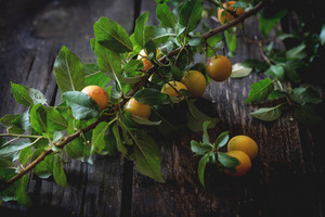 Branch Of Yellow Plums