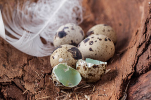 Broken Quail Egg With Feather