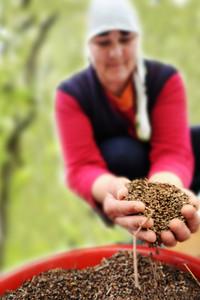 Closeup woman working with buckwheat