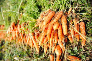 Collecting harvest in autumn: orange carrot