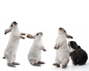 Group of rabbits bunny isolated on white background with copy space