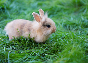 A young rabbit sitting on green grass