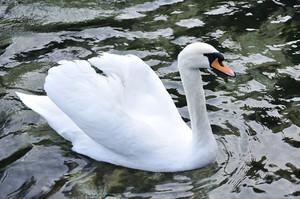 Beautiful swan on the lake