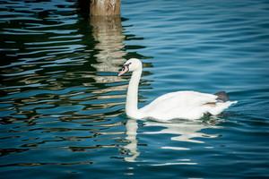 Swan on lake