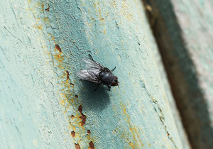 Seated big black fly Scavenger peddler and microbes
