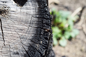 Ant running through the charred stump Restoring life in the forest after a fire