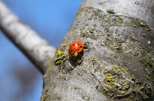 Ladybird on a tree Ladybug with black spots on the wings