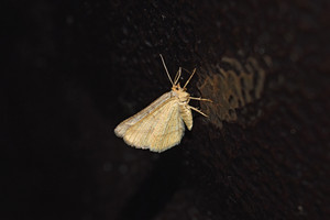 White night butterfly on the painted metal surface Moths are drawn to the light