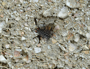 Big fly with white stripes sitting on a block wall Two-winged insects