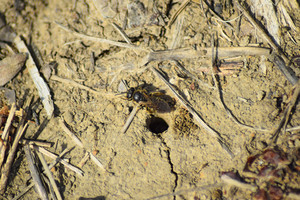 Andrena bee at the entrance to its nest Single Hymenoptera
