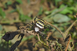 Argiopa Spider on the web Arachnid predator Spider crawling on the dry grass