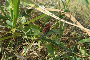 Firebugs mating and walking backwards Spring nature fire bug red insects macro Red bugs in the grass