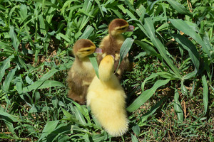 Ducklings of a musky duck Three-day ducklings walk on a lawn