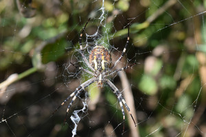 Argiopa Spider on the web Arachnid predator