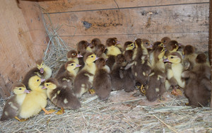 Ducklings of a musky duck Ducklings of a musky duck in the shelter with hay on a floor and a box for a lodging for the night