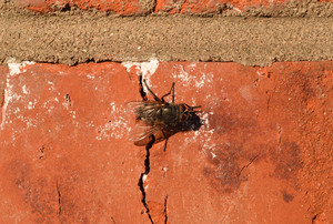 Hoverfly sitting on a brick wall Diptera insect pollinator plants