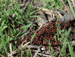 Two firebugs mating and walking backwards Spring nature fire bug red insects macro Red bugs in the grass