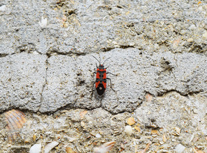 Two firebugs mating and walking backwards Spring nature fire bug red insects macro