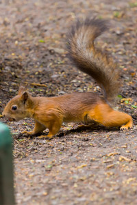 Common forest squirrel in the forest park