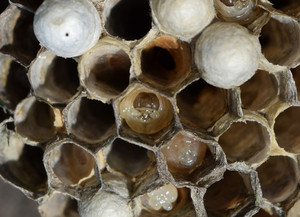 The larvae in honeycombs hornet&#39,s nest Wasps polist The nest of a family of wasps which is taken a close-up