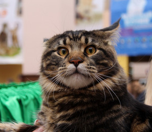 Tabby adult cat