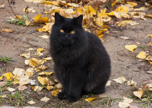 Black beautiful cat Furry pets