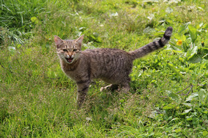 Tabby adult cat