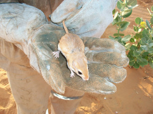 Desert mouse in a hand Fauna of Arab Emirates