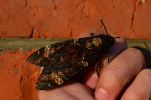 Dead head The large massive butterfly belonging to family of brazhnik Night insect