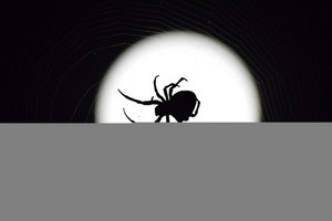 Araneus Spider on the background of the moon Night spider on its web