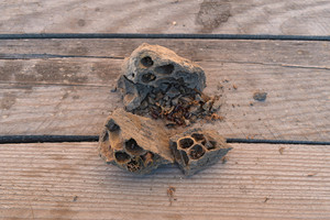 Break a hornet's nest of clay Nests of clay belonging wasp Clay camera in the nest and store food for larvae of them The socket has input and ventillyatsionnye openings