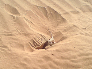 Mouse near a hole in sand Fauna of the desert
