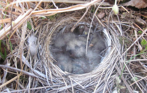 Nest of a bird in the tundra Northern birds breed for short summer