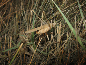 Grasshopper in a native habitat Wrecker of agriculture