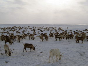 Reindeers on a yagelny pasture A pasture of deer on Yamal