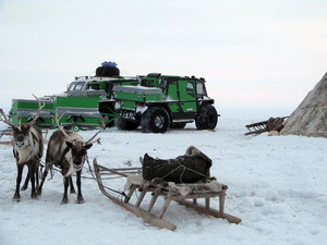 Reindeers in a team Life of deer on Yamal