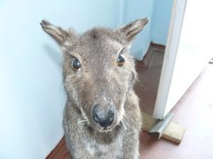 Kangaroo in the human dwelling Animal look
