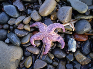 Starfish ashore Sea erinaceouses mollusks of the Sea of Okhotsk