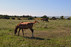 The grazed horses A pasture of horses on land grounds