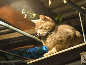 Smoky the cat in light of an incandescent lamp Pets in the private courtyard