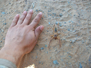 Comparison of the sizes of a Solifugae with the palm size Animal deserts