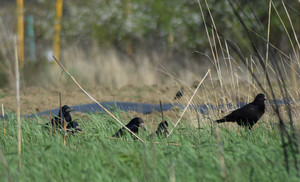 Black crows on the green grass Corvidae looking for food