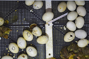 Hatching of eggs of ducklings of a musky duck in an incubator Cultivation of poultry