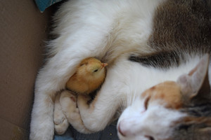 Cat warms chicken Cat takes a chicken for her cub