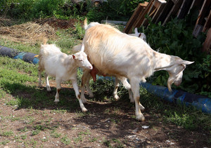 Goat common Cloven-hoofed ruminants
